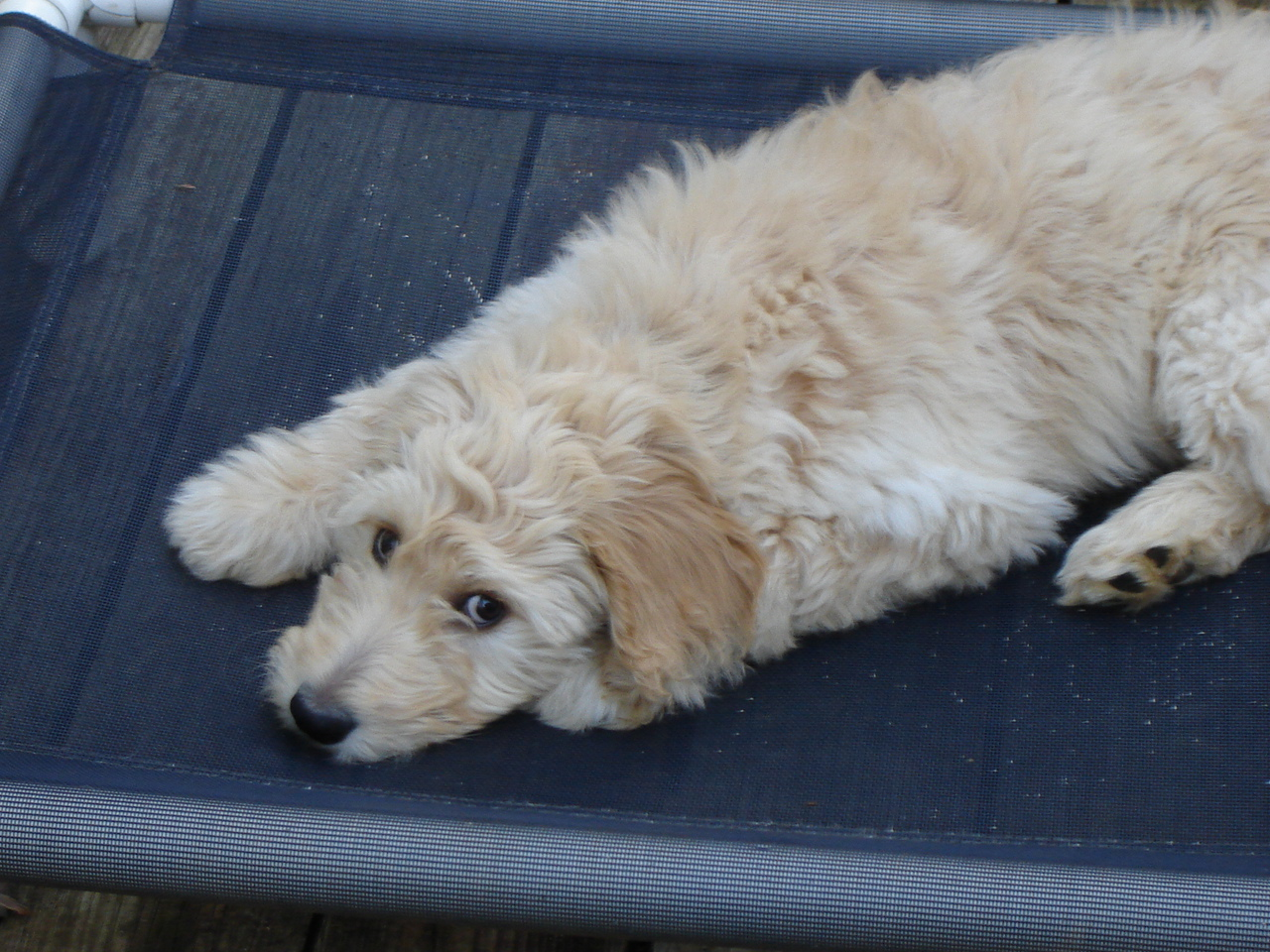 Goldendoodle Picture Goldendoodle Pictures