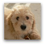 Goldendoodle Pictures
