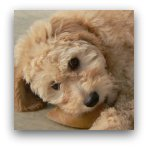 Goldendoodle Puppy Playing