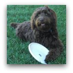 Labradoodle Frisbee Picture