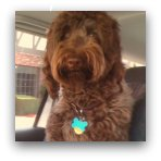 Labradoodle Picture