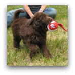 Labradoodle Playing With Ball