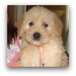 Adorable Cream Labradoodle