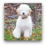 Cute Cream Labradoodle