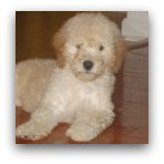 Miniature Cream Labradoodle