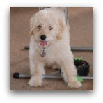 Cream Labradoodle Pictures