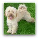 Cream Labradoodle Picture