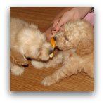 Cream Labradoodle Puppies