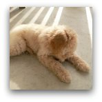 Cream Labradoodle Puppy Picture
