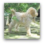Cream Labradoodle Puppy
