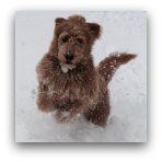 Red Australian Labradoodle in the Snow