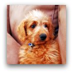 Red Labradoodle Pictures