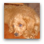 Red Labradoodle Picture