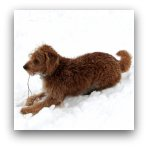 Red Labradoodle Snow